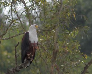 African Fish Eagle - David Swanepoel