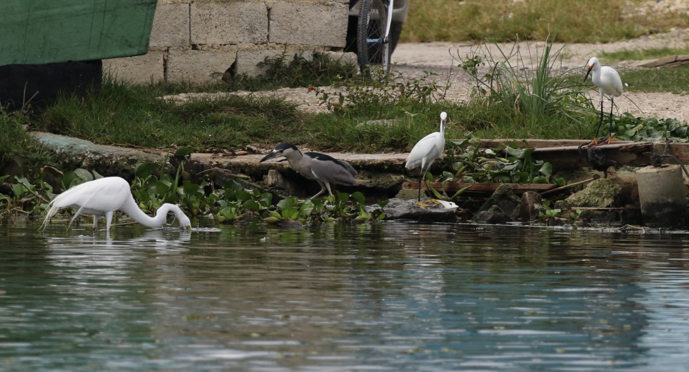 Great Egret, Black-crowned Night-Heron and Snowy Egrets