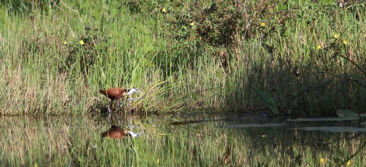 African Jacana - David Swanepoel