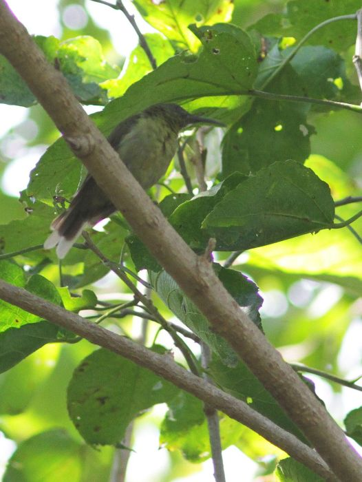 Olive Sunbird - David Swanepoel