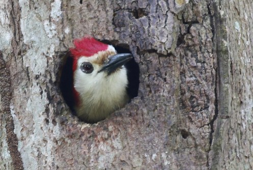 Jamaican Woodpecker