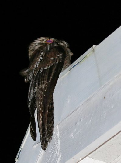 Northern Potoo by night