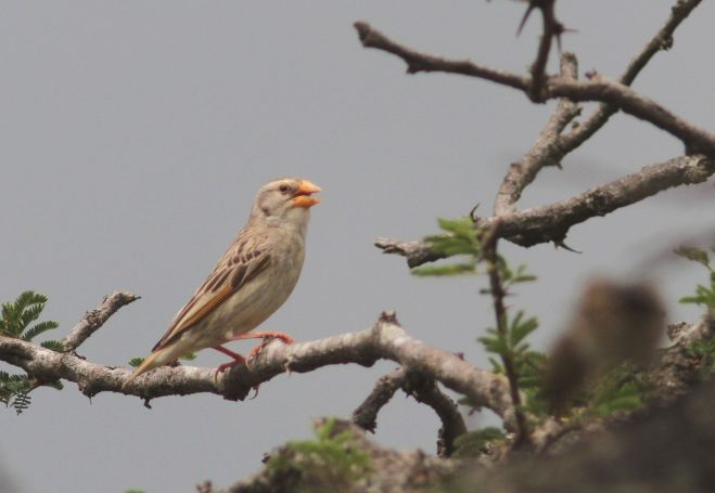 Red-billed Quelea (David Swanepoel)