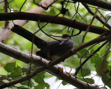 White-chinned Thrush