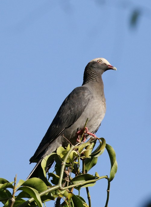 White-crowned Pigeon - aka Bald Plate