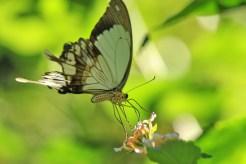 Male Mocker Swallowtail - Elton Bartlett