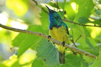 Collared Sunbird - Elton Bartlett