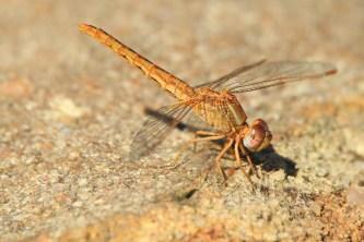 Dragonfly - Elton Bartlett