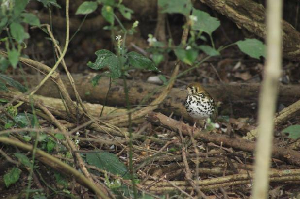 Spotted Ground-Thrush -Kim Bartholemew