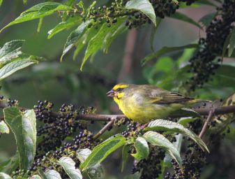 Yellow-fronted Canary - David Swanepoel