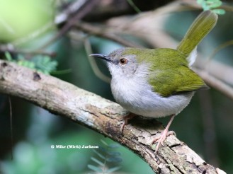 Green-backed Cameroptera -Mick Jackson