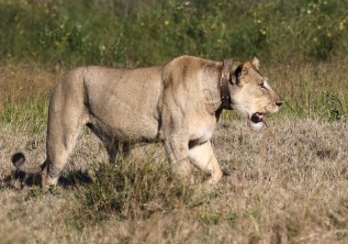 One-eye collared Lioness