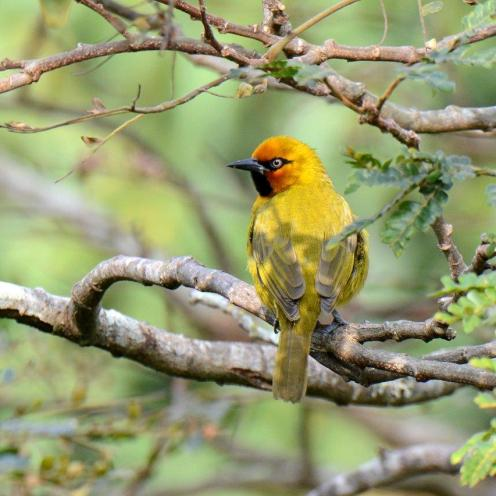 Spectacled Weaver - Dave Rimmer