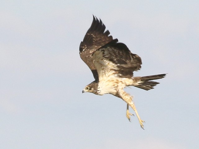 African Harrier-Hawk - juvenile