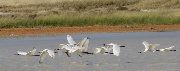 African Spoonbills in flight