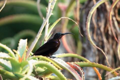 Amethyst Sunbird - John Bremner