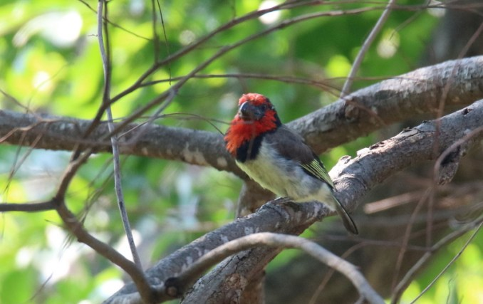 Black-collared Barbet - John Bremner