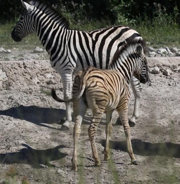 Burchell's Zebra juvenile