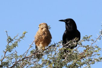 Cape Crow with Greater Kestrel
