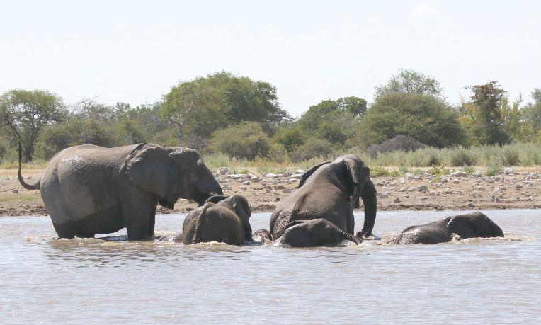 Elephants - playtime