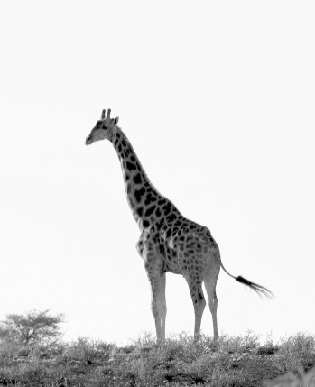 Giraffe at top of hill