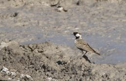 Grey-backed Sparrow-Lark