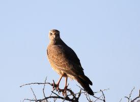 Juvenile Pale Chanting Goshawk