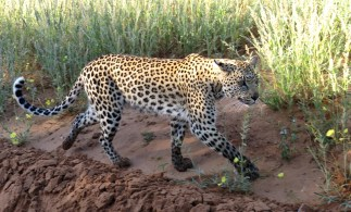 Leopard juvenile