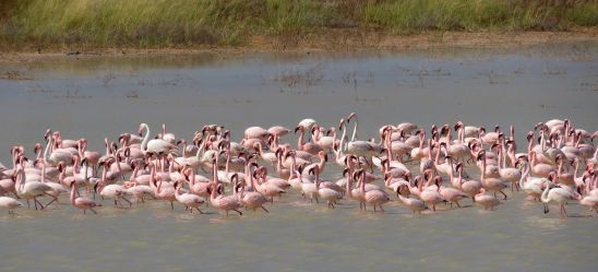 Lesser Flamingos and the odd Greater