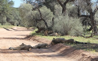Lazy lying lions