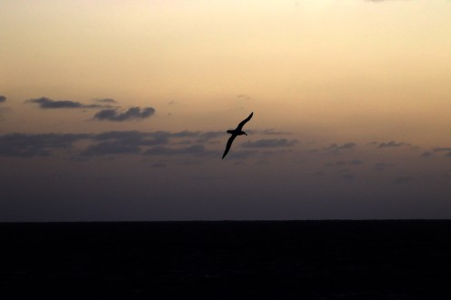 Lone Albatross