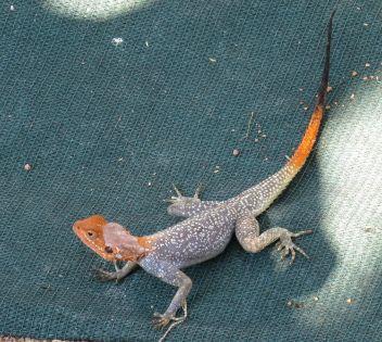 Campsite Orange-headed Lizard