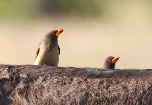 Yellow-billed Oxpeckers