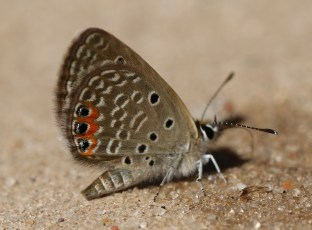 Red-spotted Butterfly