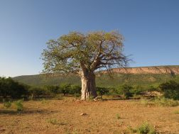 Scenery - Baobab with Ruppel's Parrots
