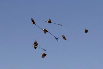 Shaft-tailed Whydahs