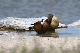 South African Shelduck - male and female