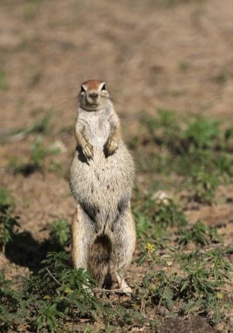 Sun Squirrel fully fed