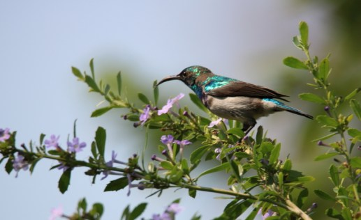 White-bellied Sunbird - John Bremner