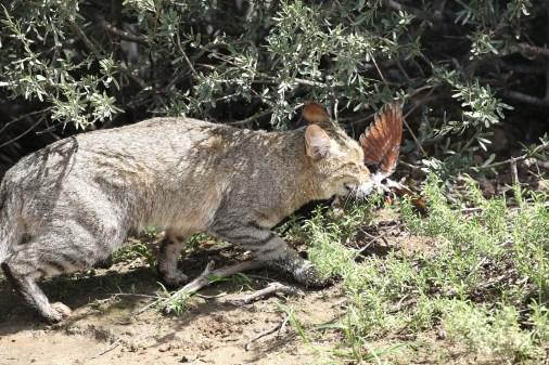 Wildcat - dinner