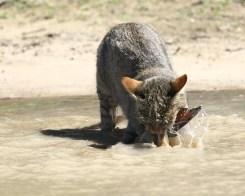 Wildcat getting wet