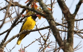 Black-headed Oriole - John Bremner