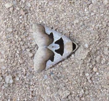 Moth - Plumed Knob -Sandi
