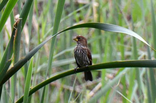 Thick-billed Weaver (Female) - Dave Rimmer