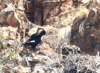 Verreaux's Eagle and juvenile