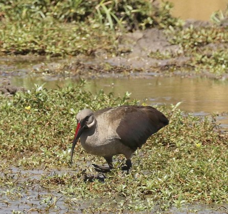 White-striped Cheek Hadeda Ibis