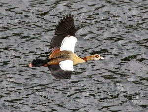 Egyptian Goose - Mick Jackson