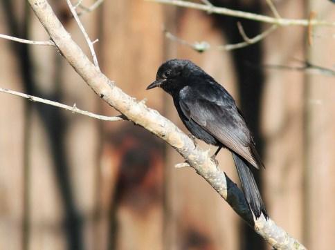 Fork-tailed Drongo - David Swanepoel