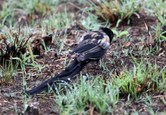 Long-tailed Widowbird in transition