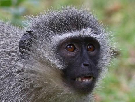 Vervet Monkey - Mick Jackson